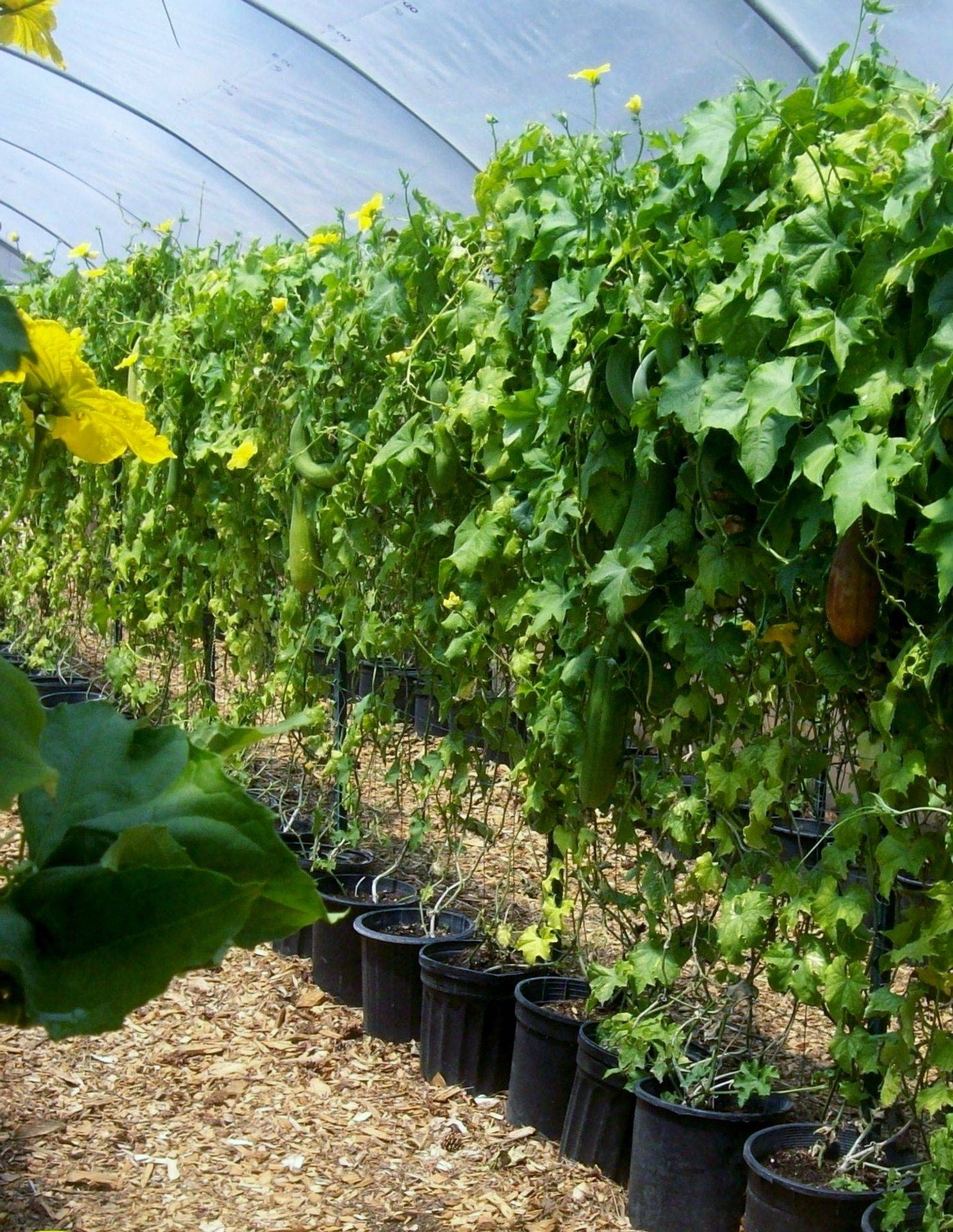 View of Luffa Vines