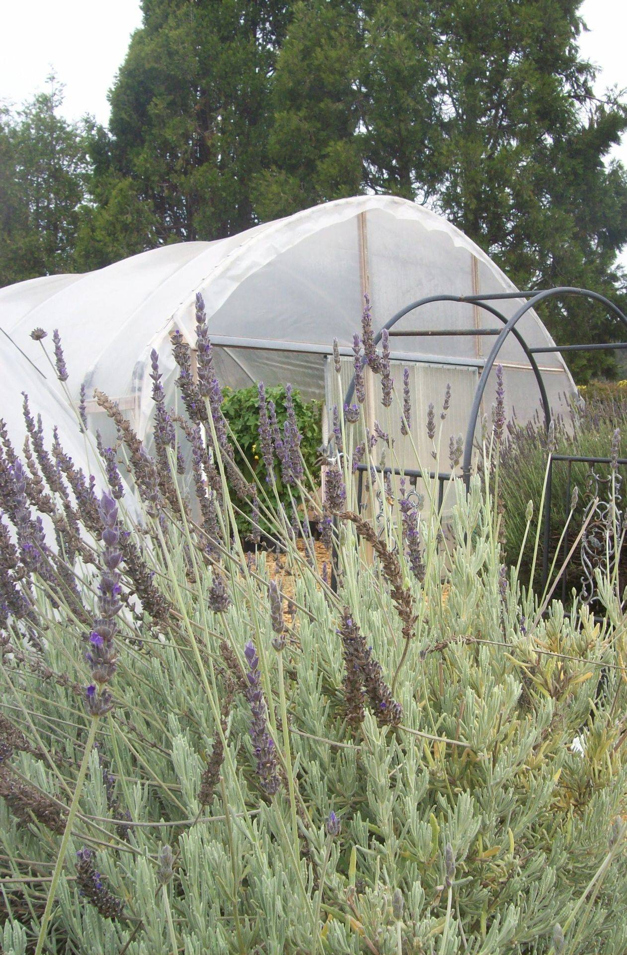 Lavender and Luffa Greenhouse
