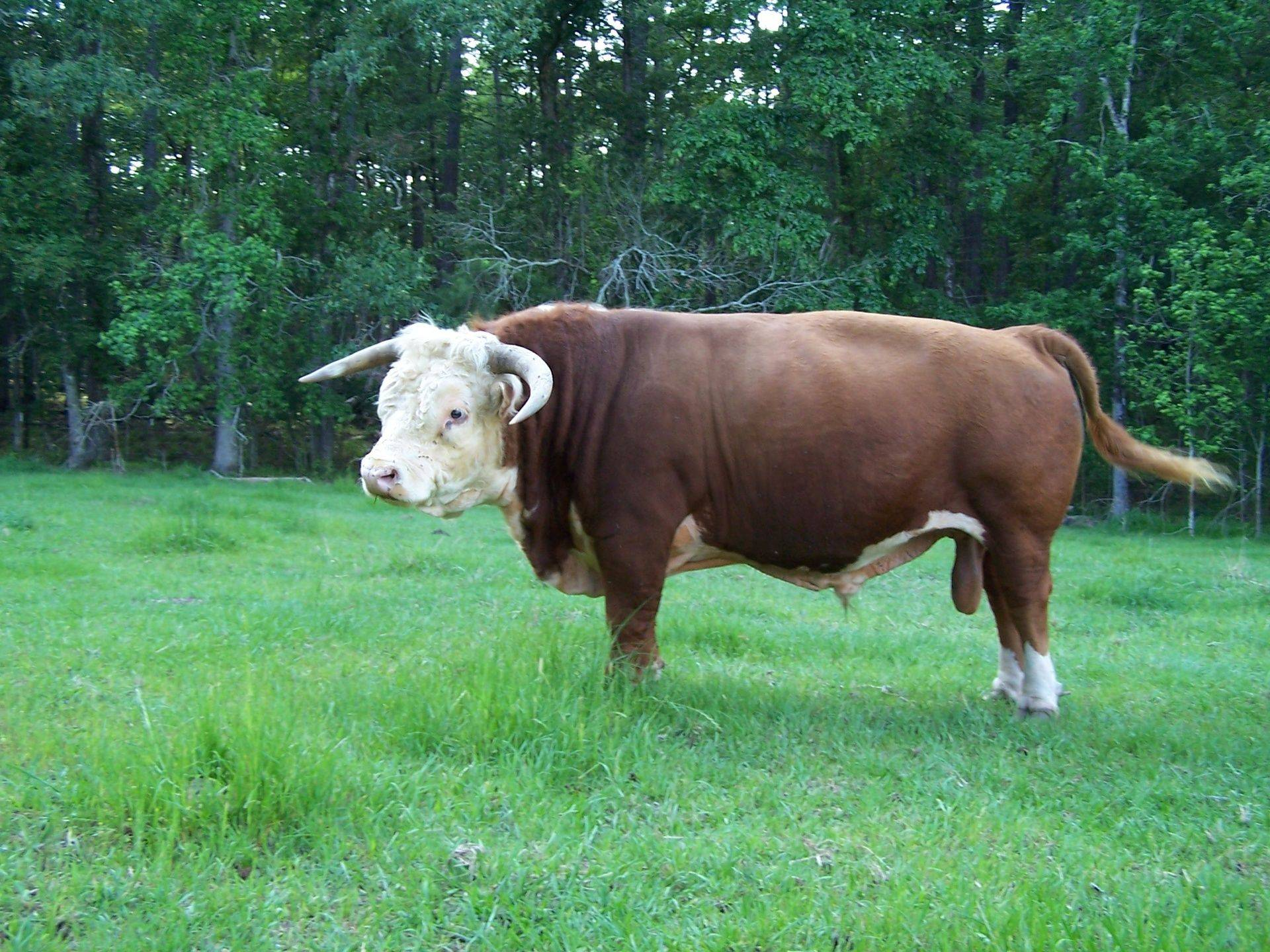 Grass fed beef from Miniature Herefords