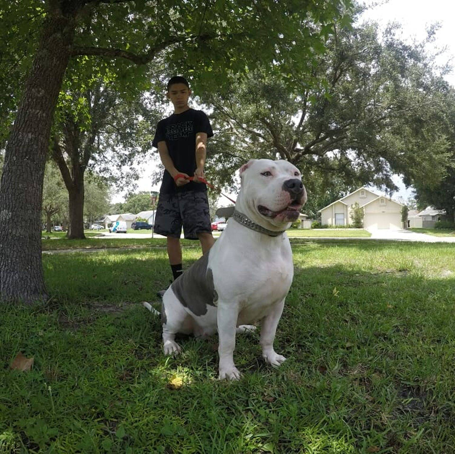 TKK ROGUE XL FEMALE AMERICAN BULLY