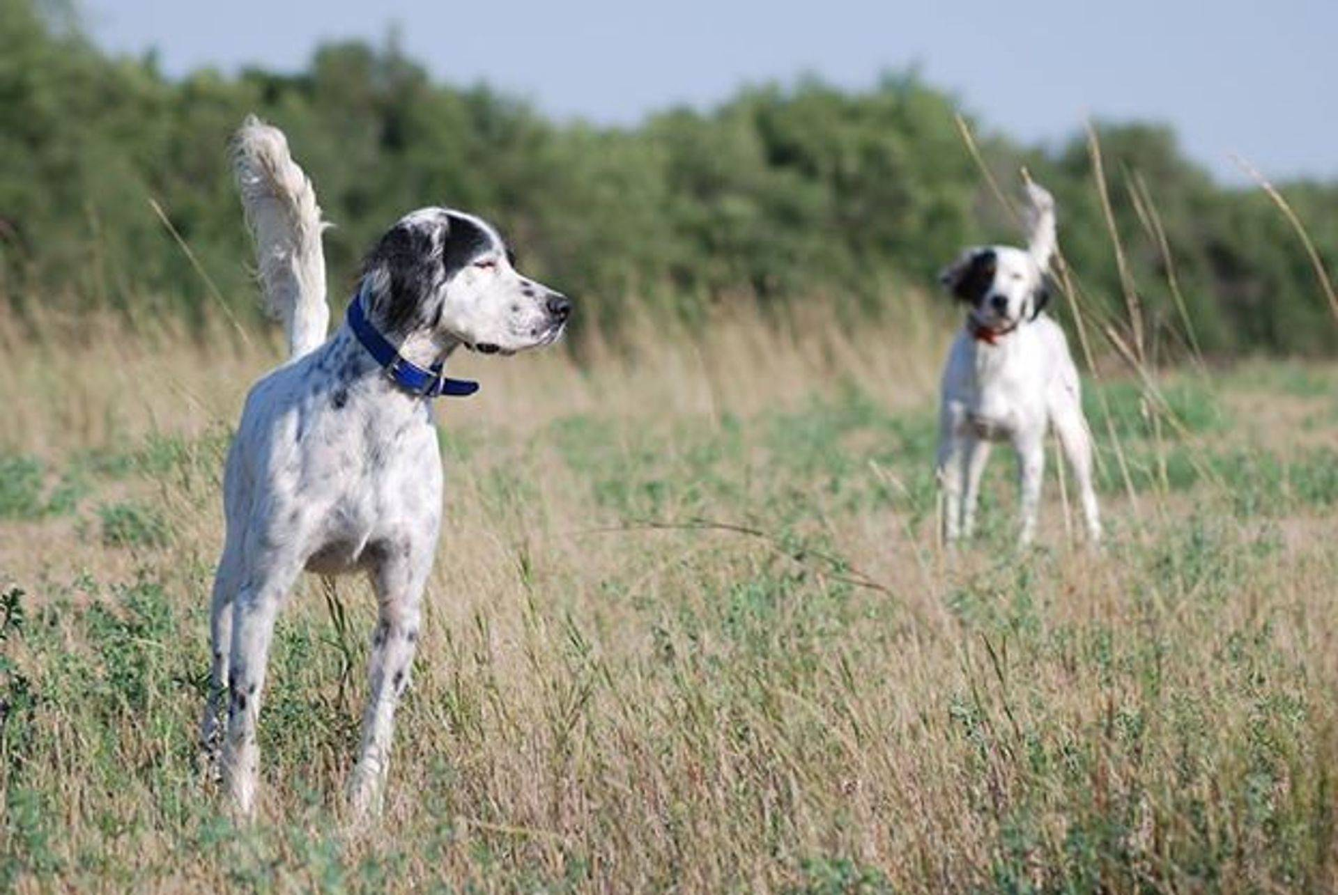 English setters on point