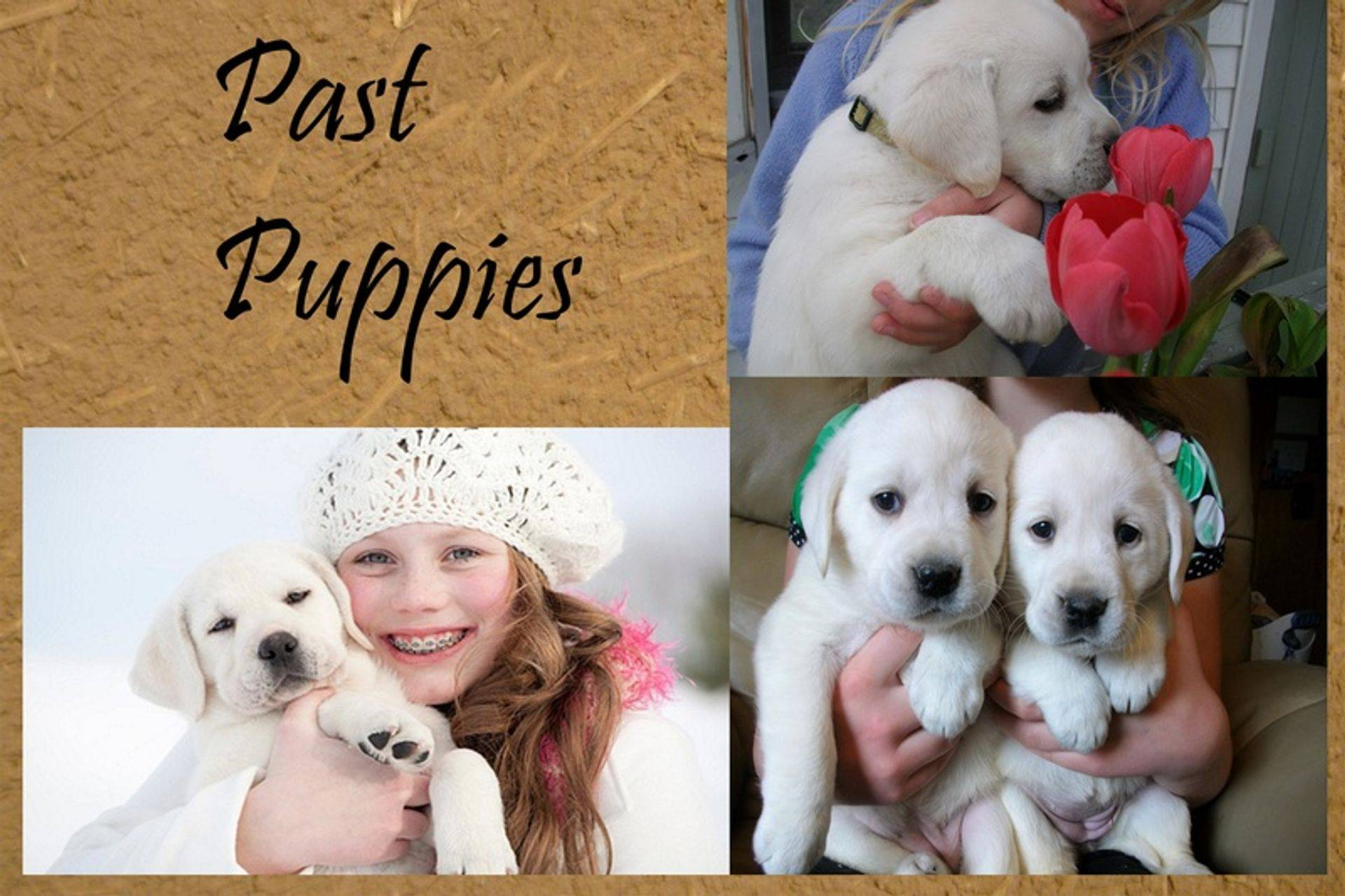 group photos of white Lab puppies that are for sale