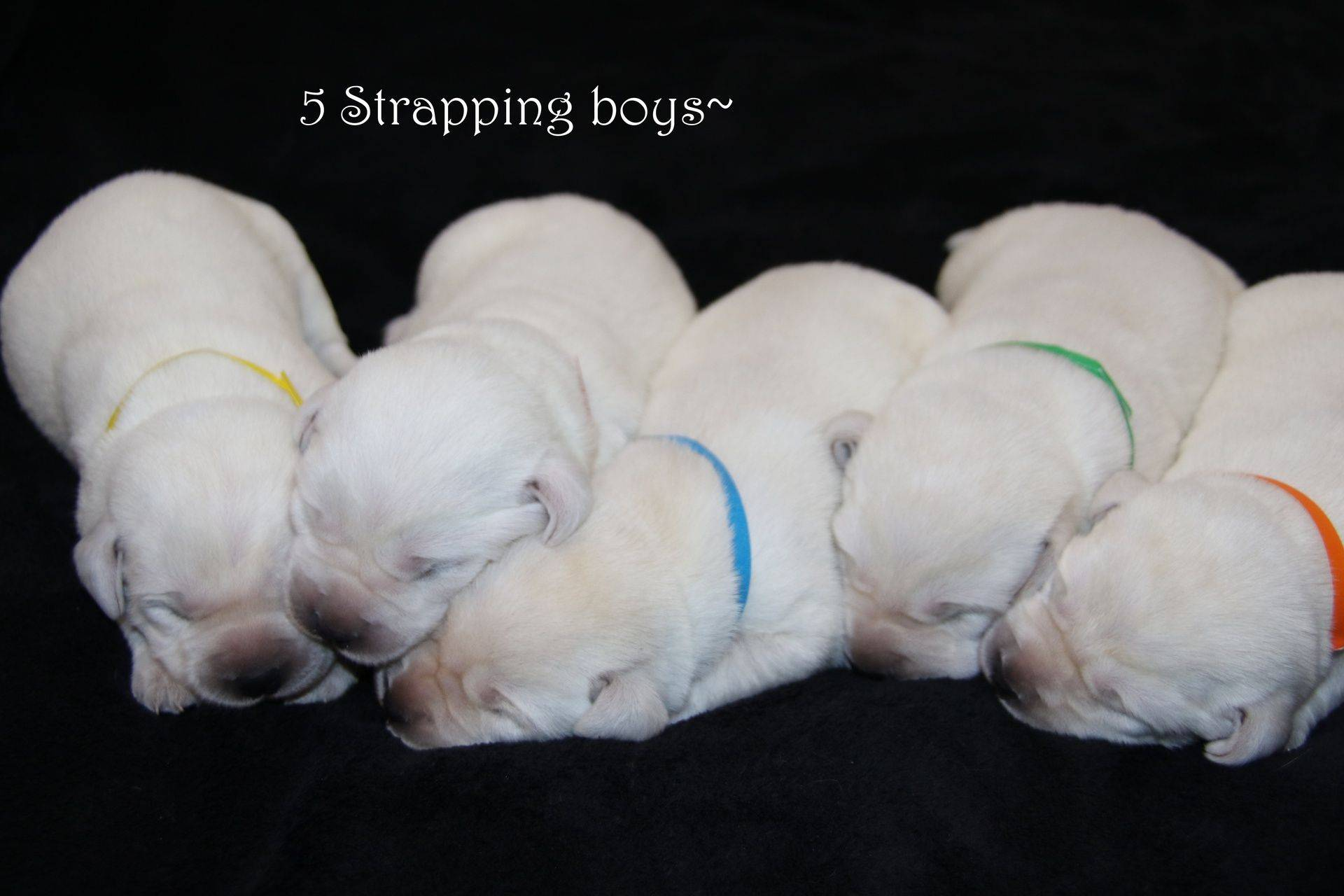 lab puppies that are newborn