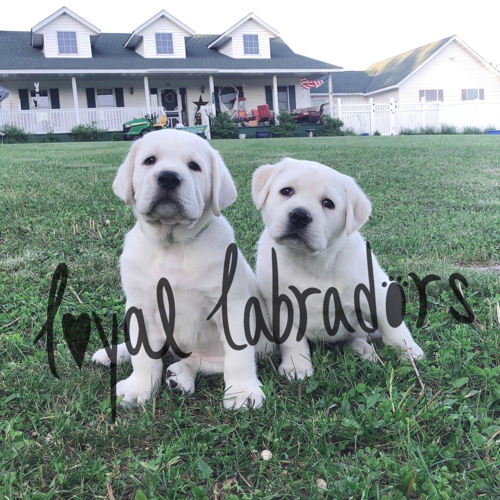 chunky white lab puppies block heads