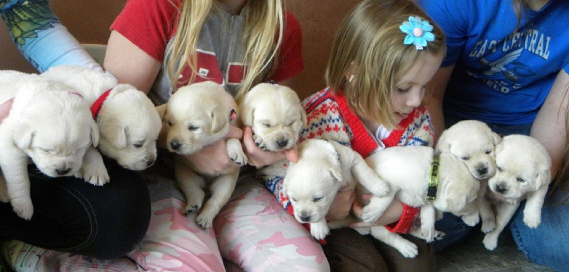 9 white lab puppies for sale
