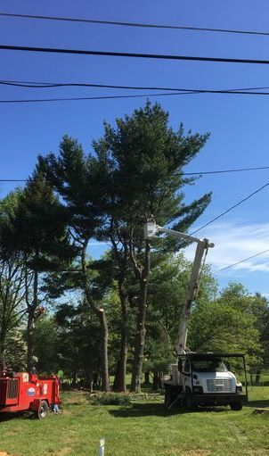 This is a picture with our bucket truck removing a tree with one of our experienced climbers.