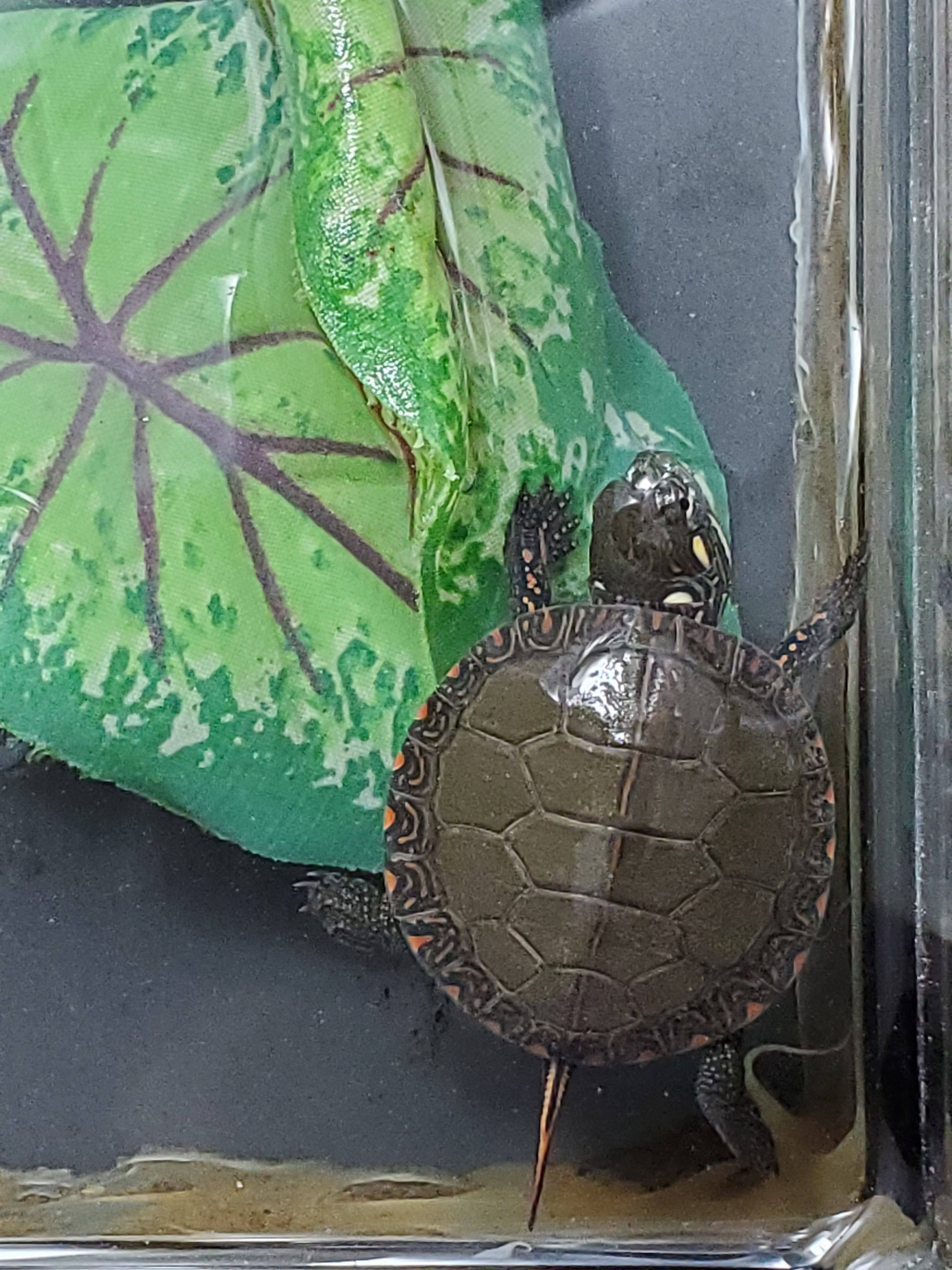 Tiny Painted Turtle