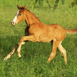 Arion Carasun (cody) Show jumping bred colt 2014