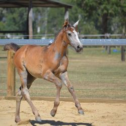 Arion Galena (Emma) Showjumping filly 2016