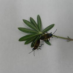Bordered plant bugs (Largus californicus) feeding on bush lupine (Lupinus arboreus) in lab at UCLA