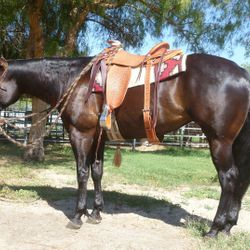 Fresnos Cally cat with akangaroo hackamore and a nice 6 strand mane hair rope (saddle made by Richard Beahm)
