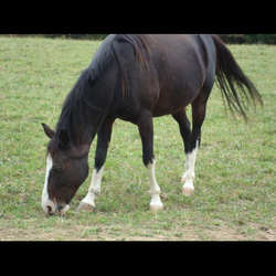 Name:Blue Gelding between 14 and 15 hands About: 10yrs old   Needs a forever home