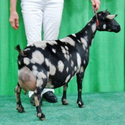 SGCH Cedar View Isabella finished as a 2 yr. old first freshene and won Best in Show at the TVA&I Fair. She won grand and Supreme udder in show at NAILE in 2014.