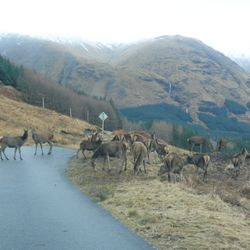 Red Deer - Glen Etive