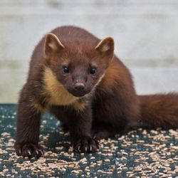 Pine Martens feeding at the cottage - rear decking
