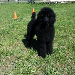 Black standard poodle puppy in puppy cut
