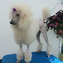 White Standard Poodle in Continental clip with Purple bow and purple glitter