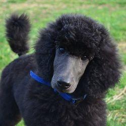blue Standard Poodle puppy