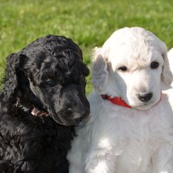 available blue male Standard Poodle puppy  white male reserved