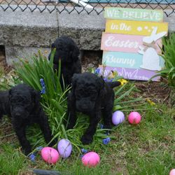 female Standard Poodle puppies