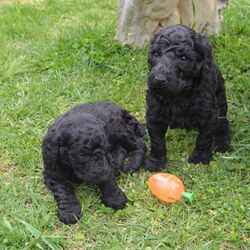 blue male Standard Poodle puppies