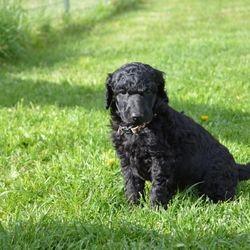 blue male Standard Poodle puppy