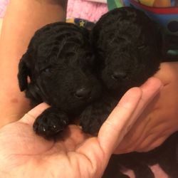 male Standard Poodle puppies