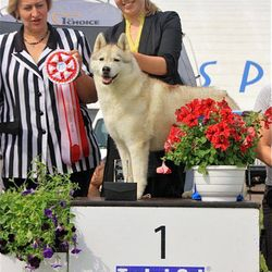 Konuvere's Digital Princess winnign Best In Show Veteran two days in a row