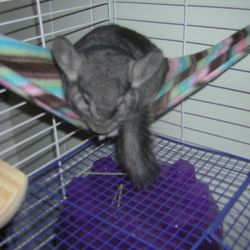 "Ash a.k.a. ""Bean"" Standard Gray Male - my first pet chinchilla.  Note: Never give your chinchilla a plastic house like the one in this photo. I was uneducated about proper chinchilla care when I got my first pet."