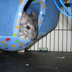 "Ash a.k.a. ""Bean"" Standard Gray Male - my first pet chinchilla.  Note: Never give your chinchilla a metal hay holder like the one in this photo. I was uneducated about proper chinchilla care when I got my first pet."