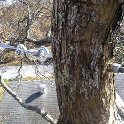 Tree Bracing/ Cabling in West Asheville