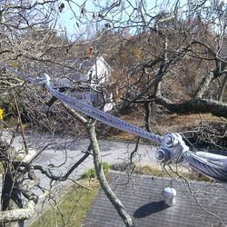Bracing a Catalpa in West Asheville