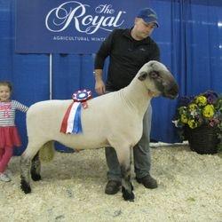 Champion Hampshire Ram RAWF 2016