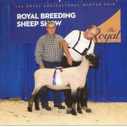Reserve Champion Slick Shorn Hampshire Ewe Lamb 2014 RAWF
