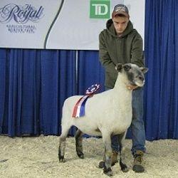 Champion Oxford Ewe 2012 RAWF Holly CE 106s