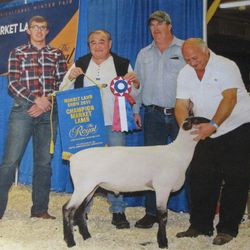 Champion market lamb 2015