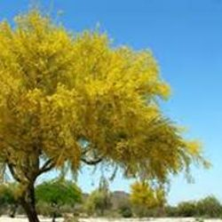 Blue Palo Verde in Bloom