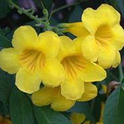 Flowers of the Yellow Bells