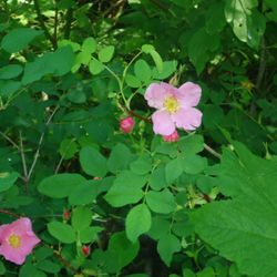 Wild roses this summer