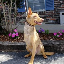 ADOPTED!  Happy Trails and Tails, Copper!