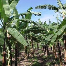 Banana plantation @ Bizoha Farmland