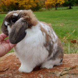 Example of a broken black tort Holland Lop