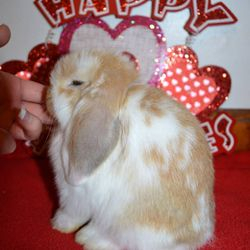 Example of a orange Holland Lop