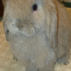 Example of a solid blue tort Holland Lop