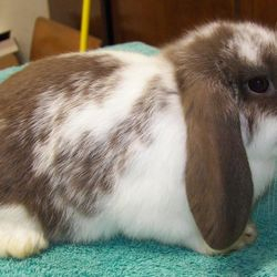 Example of a broken chocolate Holland Lop