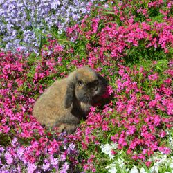 Example of a solid black tort Holland Lop
