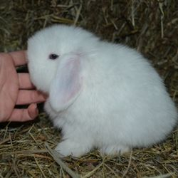 Example of a Blue Eyed White Holland Lop