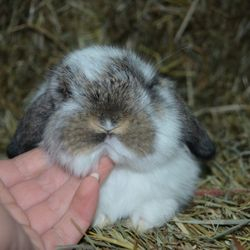Example of a broken chestnutHolland Lop