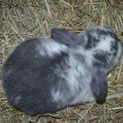 Example of a broken blue Holland Lop