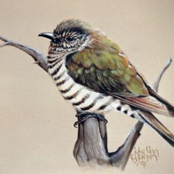 Golden Bronze Cuckoo Shrike    watercolour